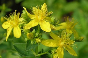 Пищевые растения, которые рекомендуются при урологических заболеваниях