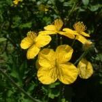 Использование травы чистотела и побочные эффекты