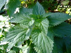 Растение Крапива