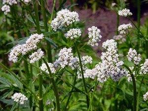 Пищевые растения, которые рекомендуются при заболеваниях сосудов и сердца