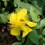 Зверобой: удивительное растение