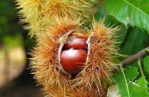 Преимущества экстракта семян конского каштана