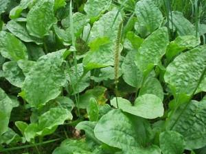 Травянистое растение Подорожник